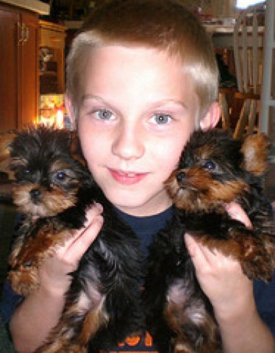 Yorkie Baby Doll Face Yorkie Puppies For Sale Teacup Yorkie Puppy